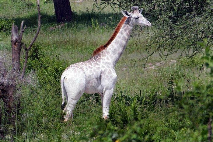Rare White Giraffe Spotted In Tanzania | Bored Panda
