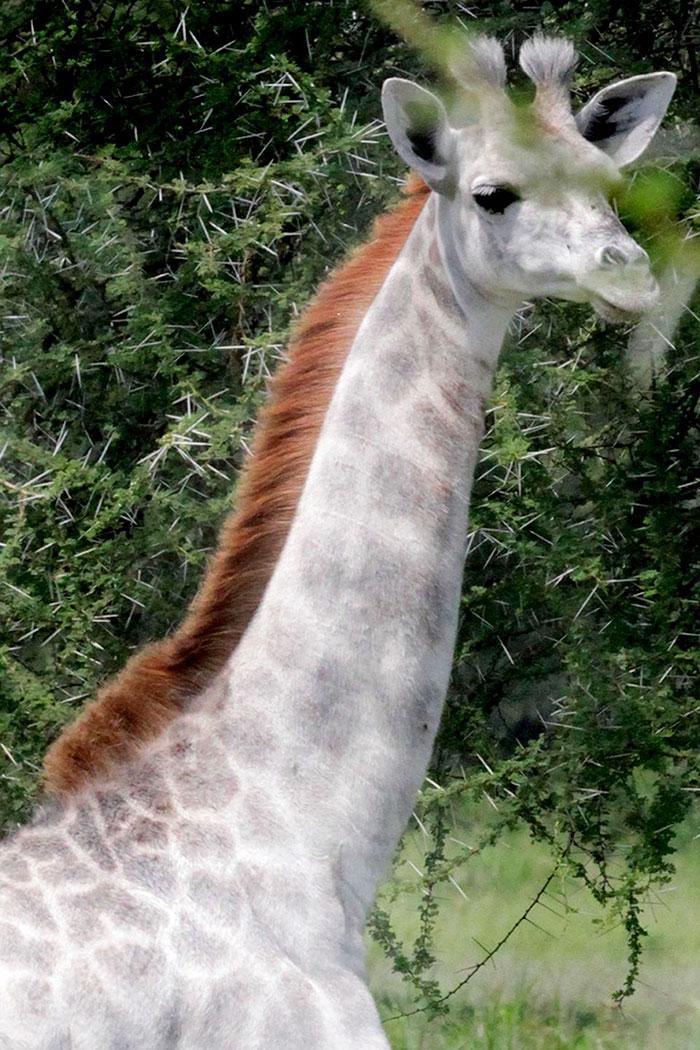 white-giraffe-leucism-albino-rare-animals-omo-tanzania-9