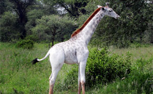 Rare White Giraffe Spotted In Tanzania