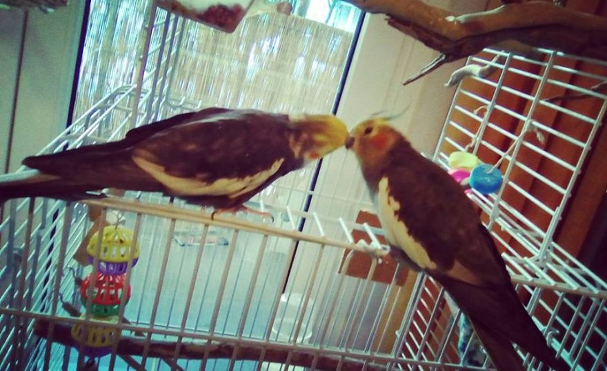 My Cockatiels, Babis And Soula Spend The Whole Day Kissing (and Fighting!)
