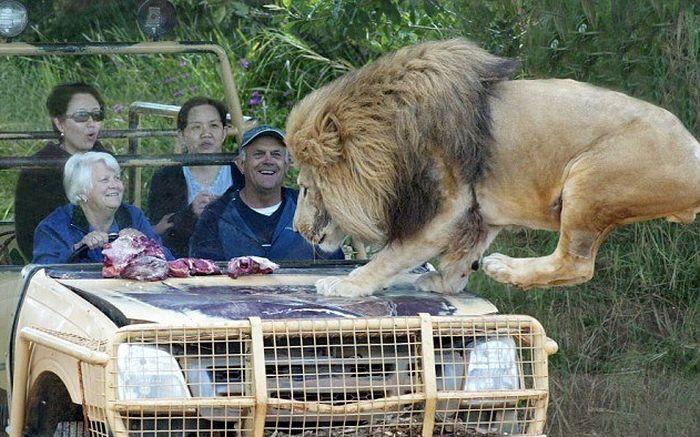 Close Encounter With A Lion