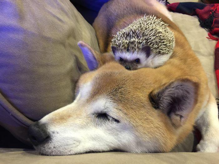 Hedgehogs Make Great Cuddle Buddies! My Shiba Inu Toby Loves Him