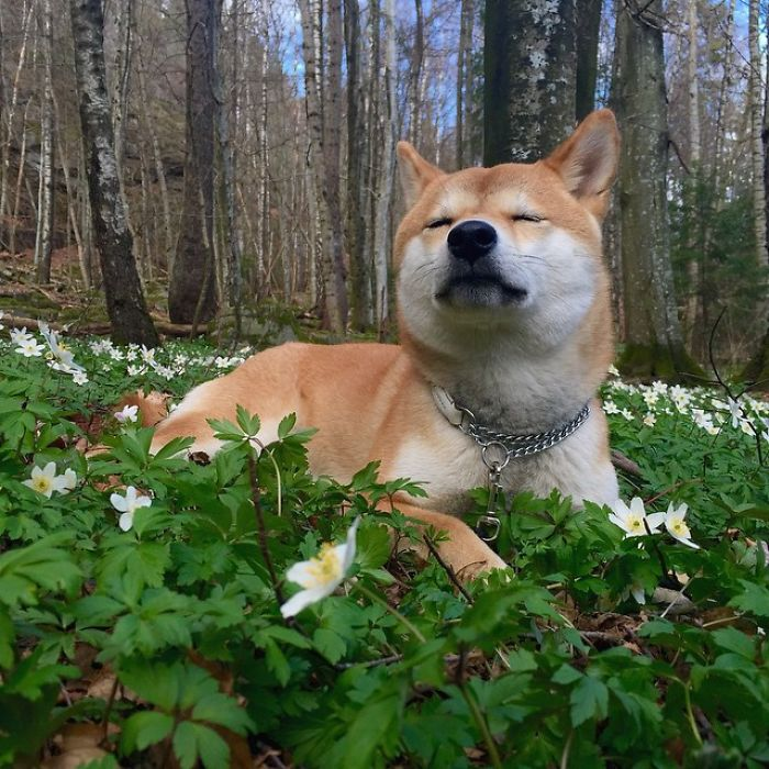 Meet Nana, The Shiba Inu Of My Life Who Is Turning 2 This Thursday