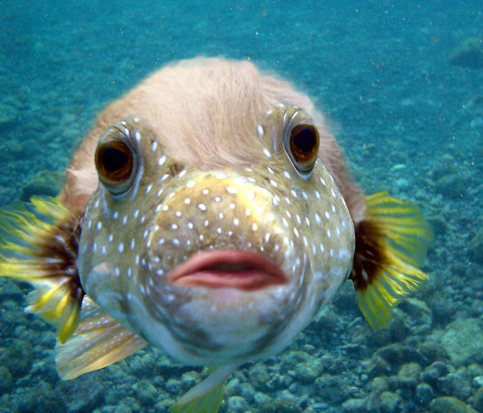 donald trump's lips are photoshopped onto a puffer fish