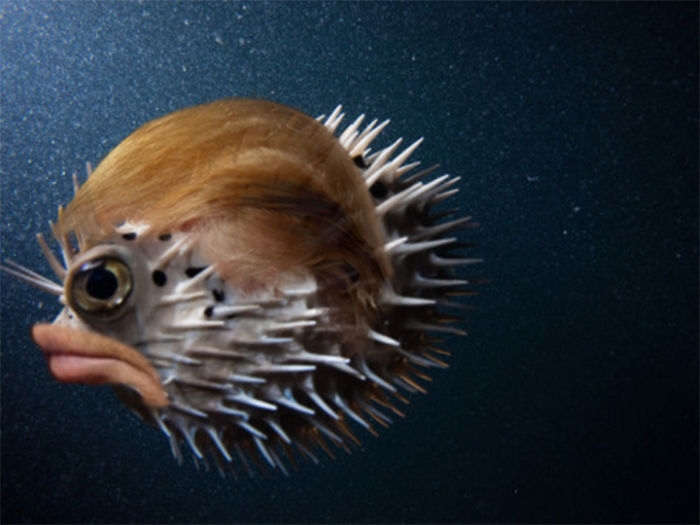 a profile view of a puffer fish with donald trump's lips