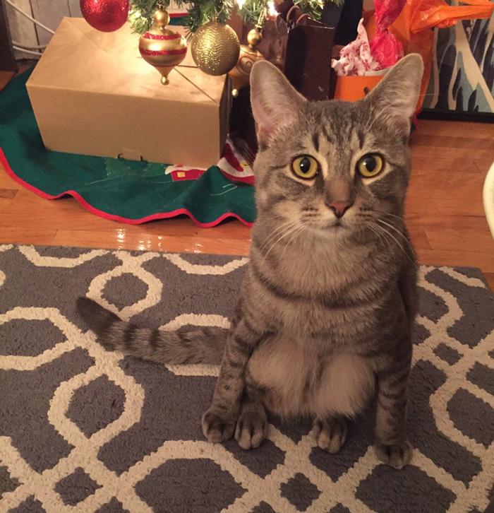 adopted-cat-sits-like-human-wilbur-wolfpackago-14