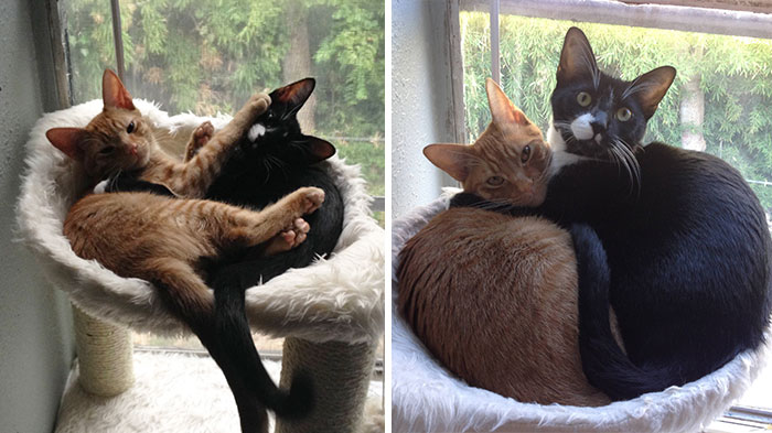 2 Cats 1 Bed: Adopted Cat Brothers Continue Sleeping Together Even After They Outgrow Their Bed