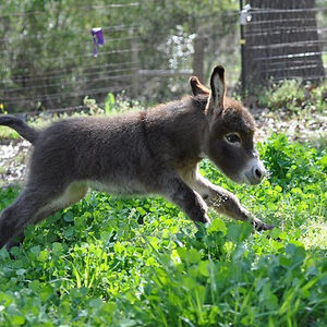 Look At This Baby Donkey Frolicking In Its Human's Fields And Try Not To Smile.