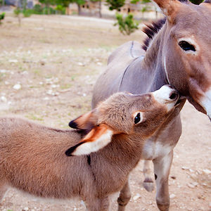 This Mother Donkey Is Clearly Trying To Resist Her Baby's Cuteness.