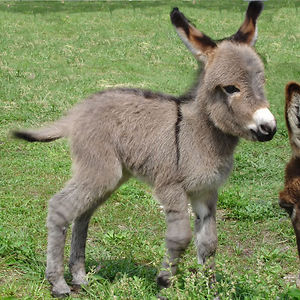 This Mini Donkey Is Just Starting To Grow Into Its Ears.