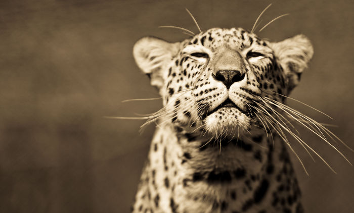 Big Cats: I've Spent 10 Years Photographing These Wild And Loving Creatures (Part 2)