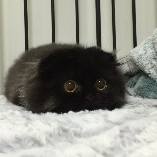 Meet Gimo The Cat With The Biggest Eyes Ever Bored Panda