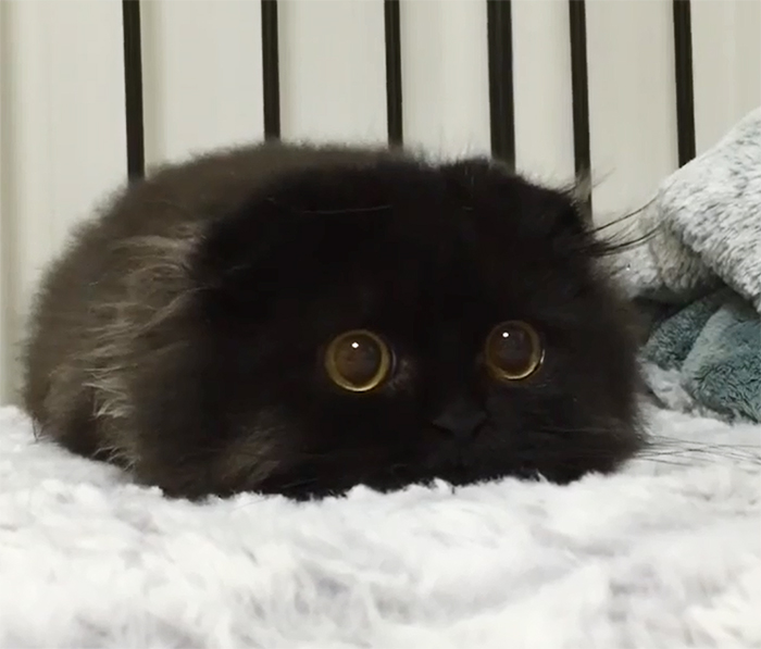 Meet Gimo, The Cat With The Biggest Eyes Ever