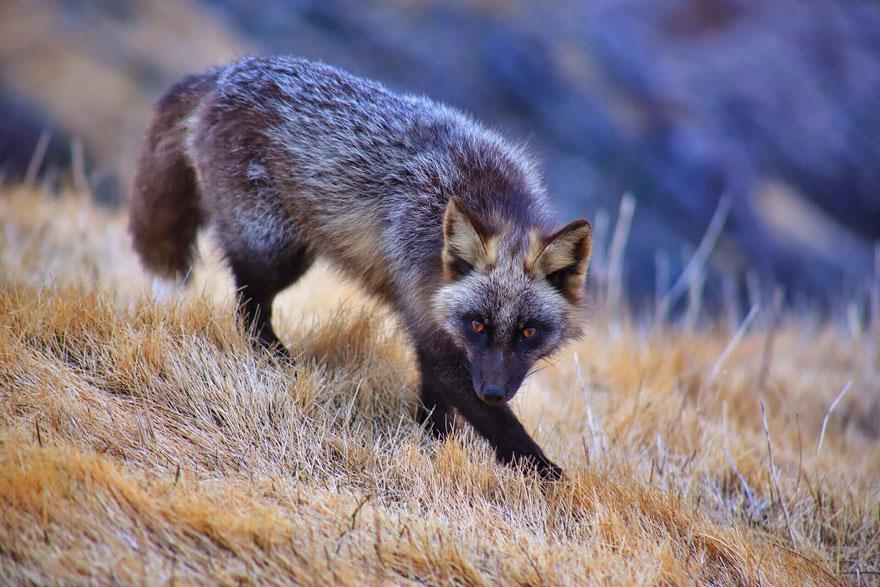 Foxes Den 13