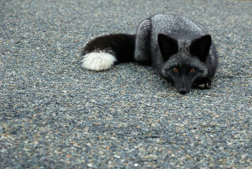 Black Silver Fox