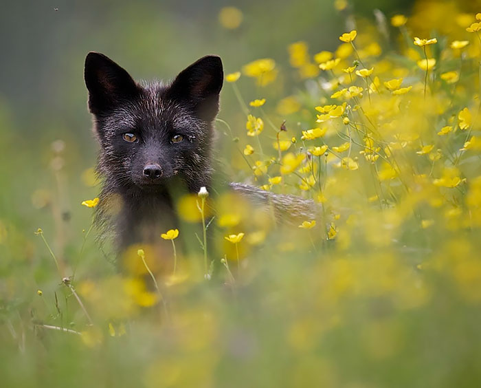 The Rare Beauty Of  Black Foxes (15+ Pics)