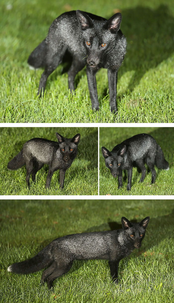 Black Fox Playing In A Back Garden In Yorkshire