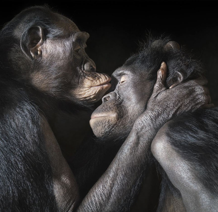 Two Apes Enjoy An Intimate Moment Together