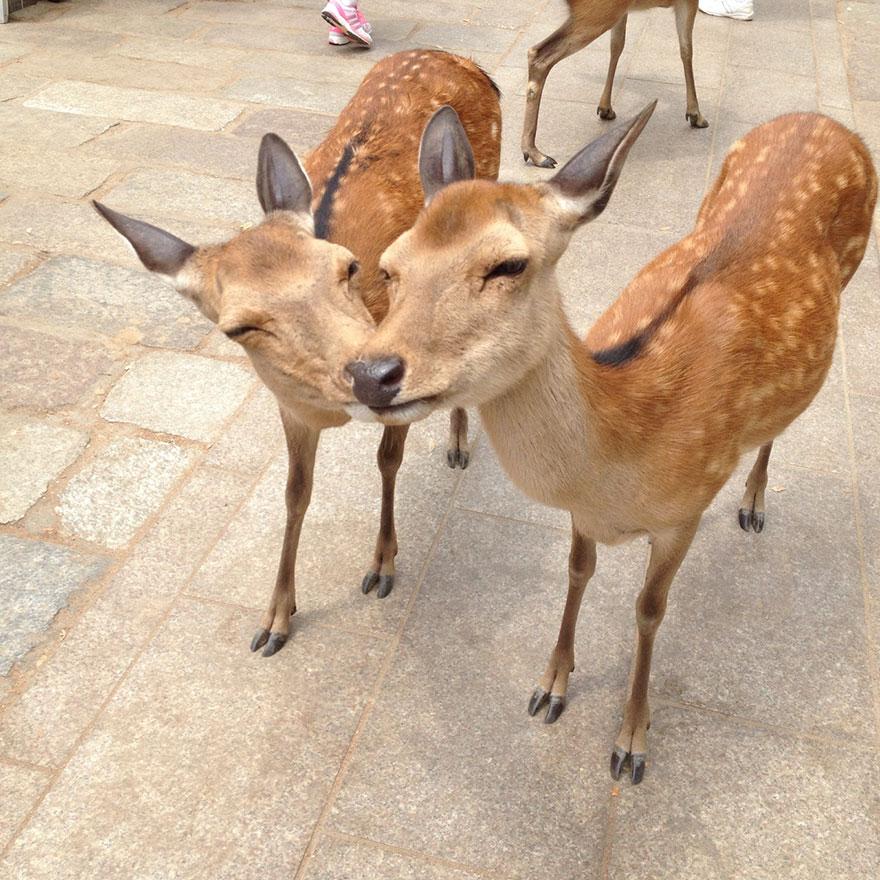 Deers Kissing
