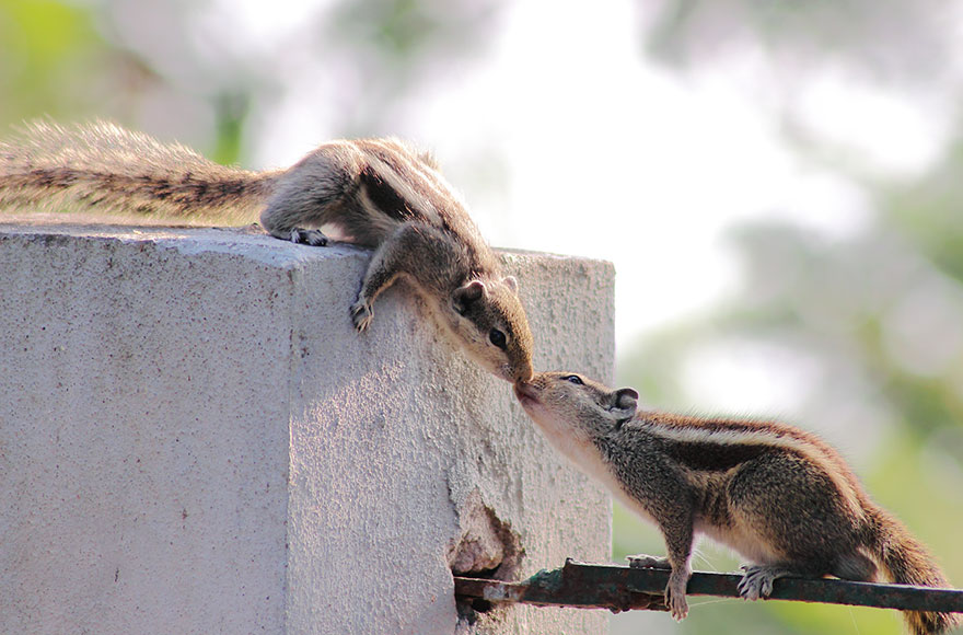 Two Squirrels Kissing