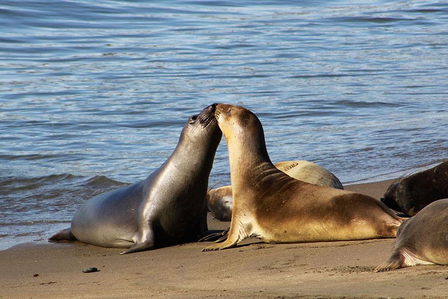 Kissing Elephant Seals