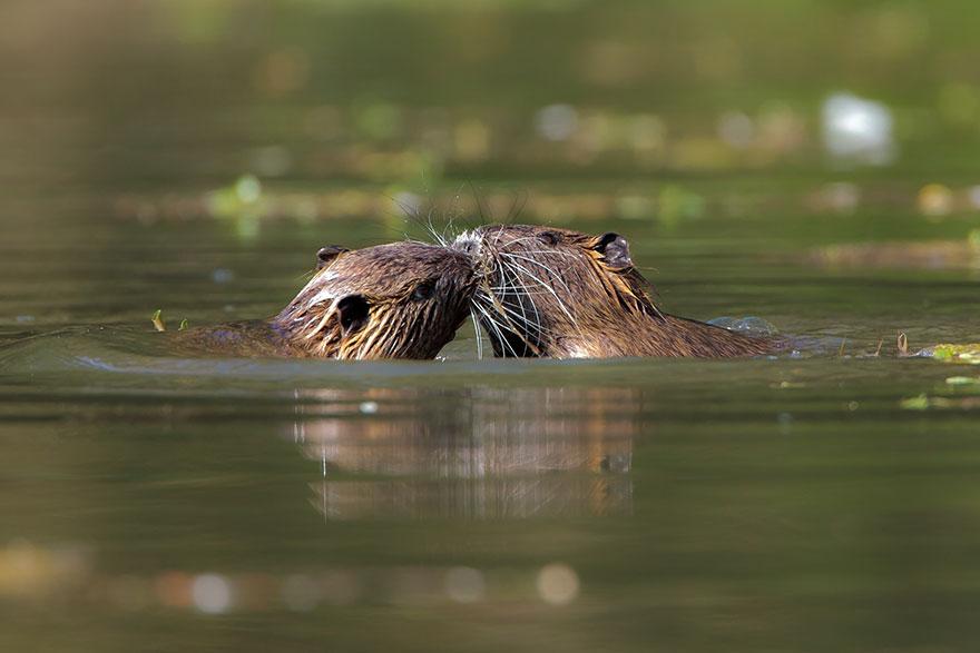 Kissing Coypus