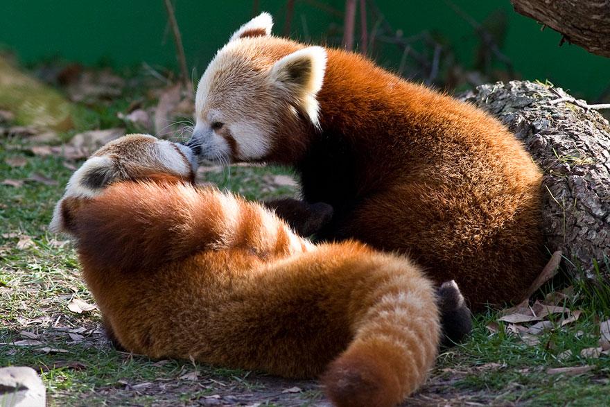 Red Pandas Kissing