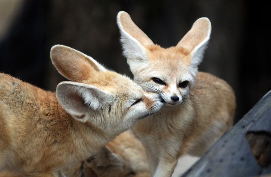 Fennec Fox Kisses