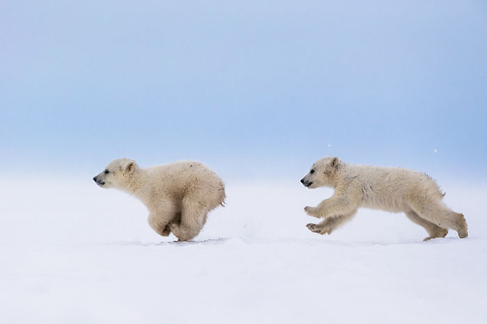 Polar Bear Cubs In The Middle Of A Chase