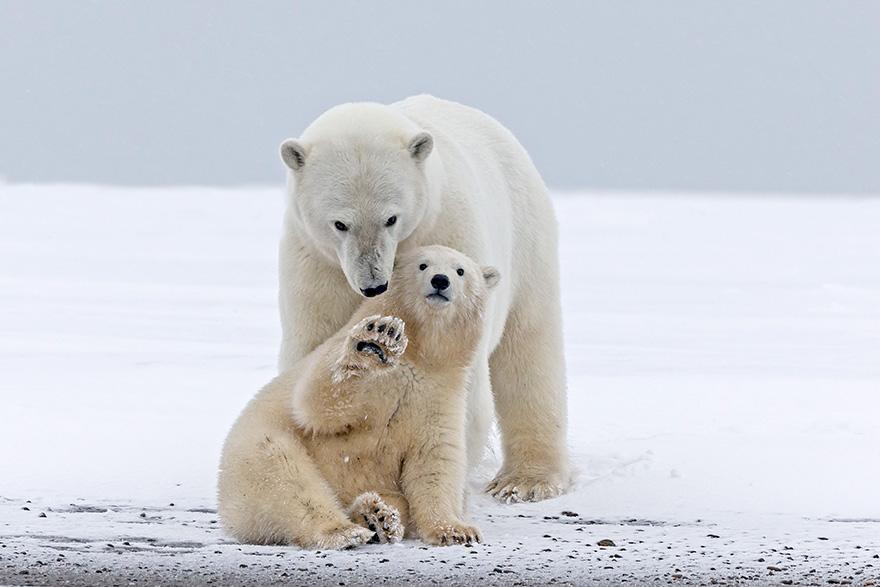 Baby Polar Bear Just Want To Say Hi