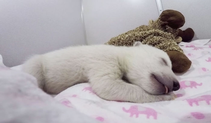 Baby Polar Bear Sleeping With A Stuffed Animal