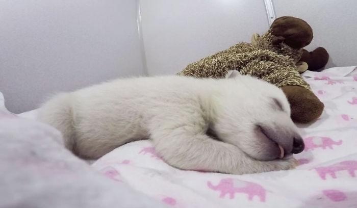 Baby Polar Bear Sleeping With A Stuffed Animal