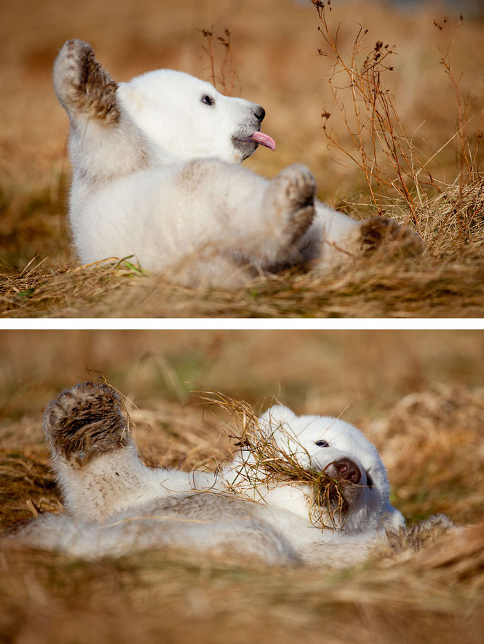 Polar Bear Cub Siku Playing