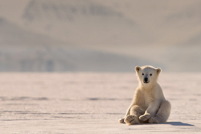 A Curious Baby Polar Bear Just Sat Down In Front Of Me And We Looked Eye To Eye