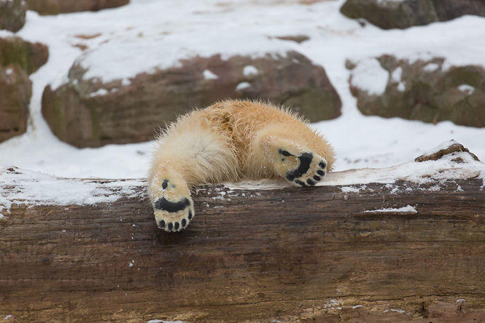 Polar Bear Butt