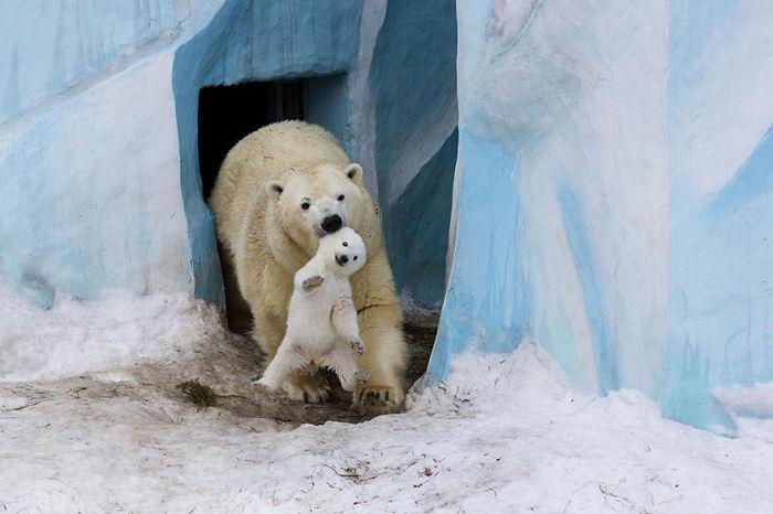 Polar Bear Gerda Playing With Cub