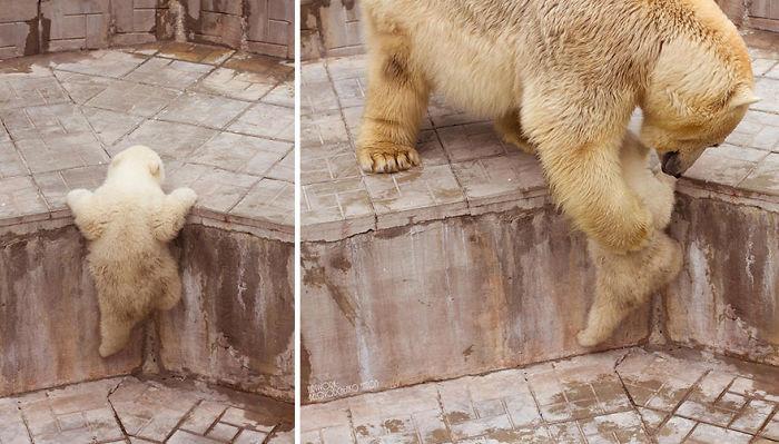 Mother Polar Bear Helping Her Cub To Climb