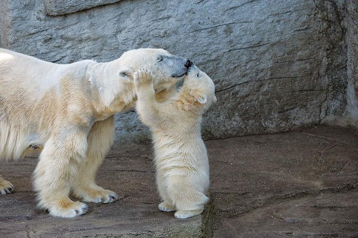 Polar Bear Kissing Mom