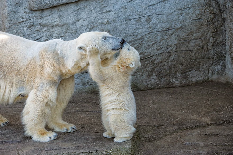 Polar Bear Kissing Mom