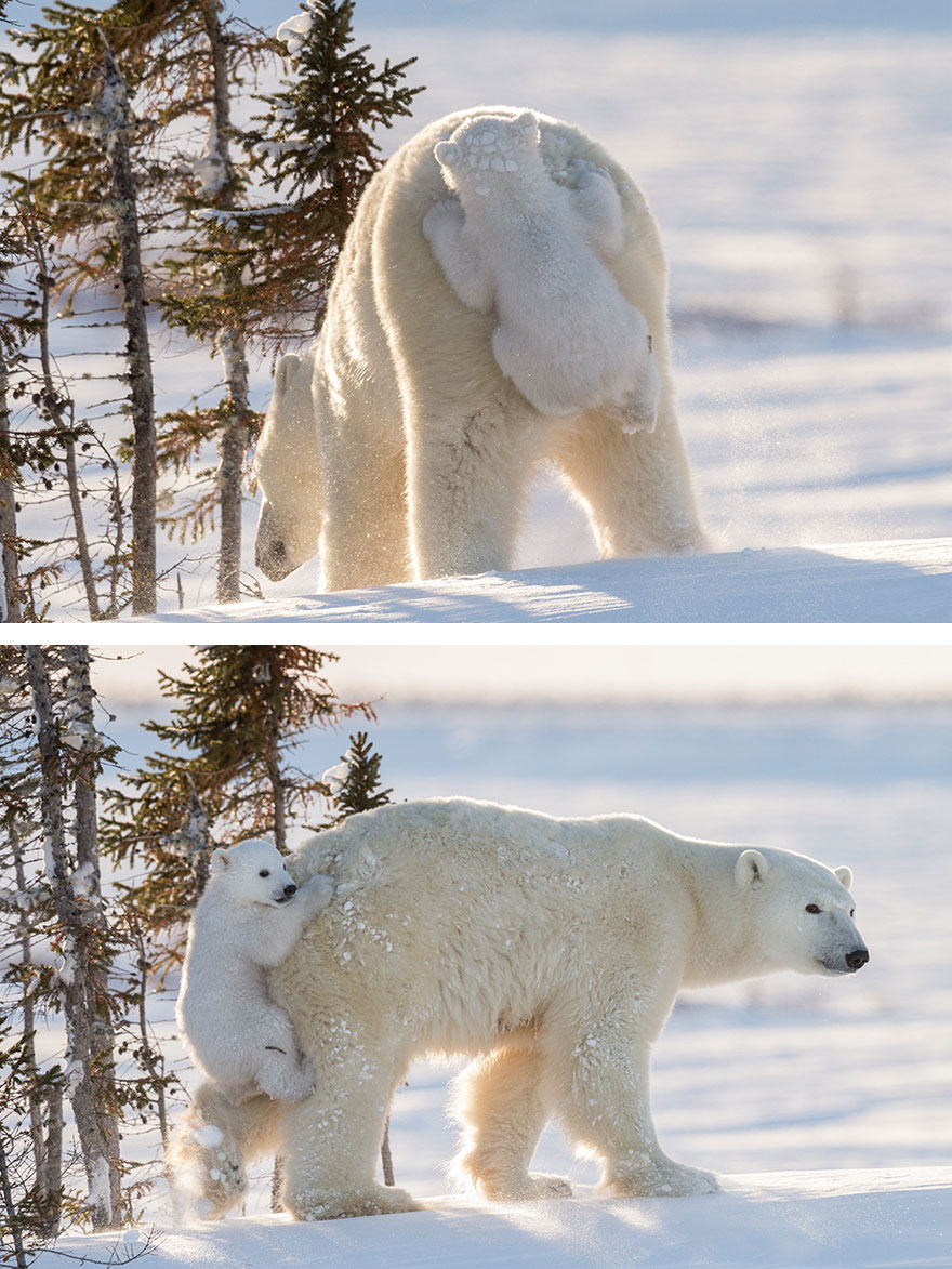 Baby Polar Bear Clings To Mom After Seeing Snow For The First Time