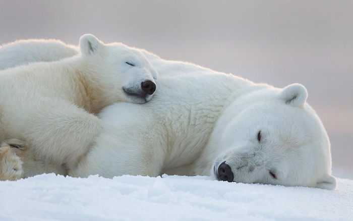 Goodnight, Polar Bears