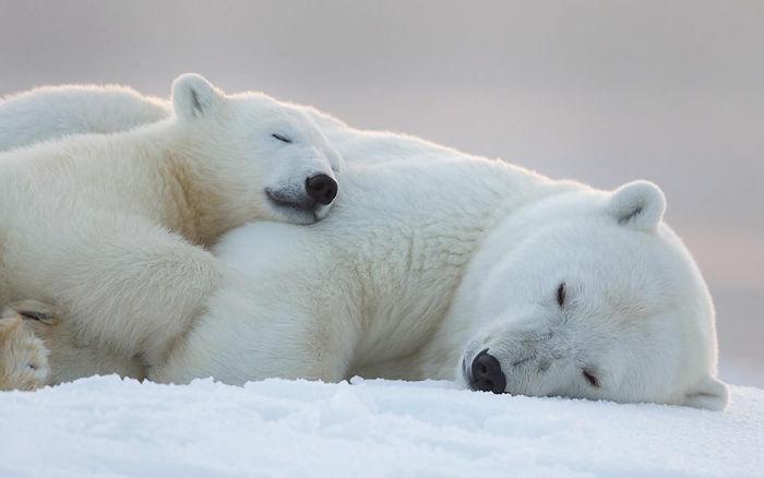 Goodnight, Polar Bears