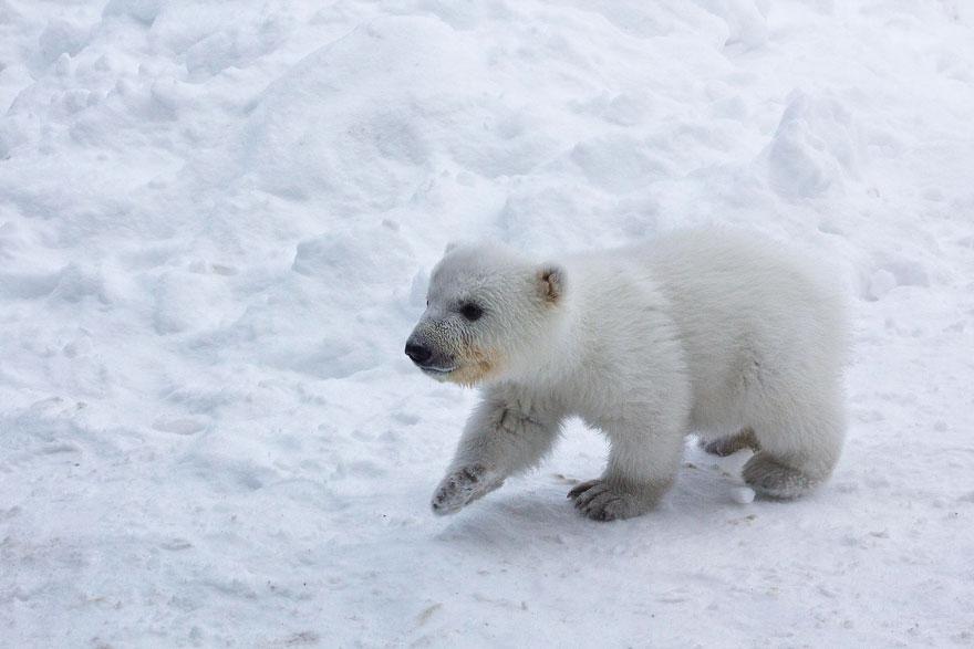 how to draw a cute baby polar bear