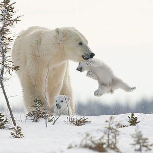 13+ Cute Baby Polar Bears Celebrate International Polar ... Panda Cubs Playing In Snow