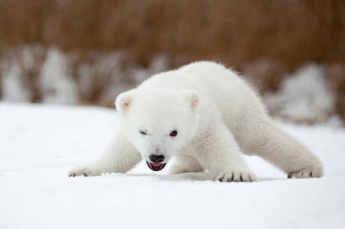 Angry Polar Bear Cub