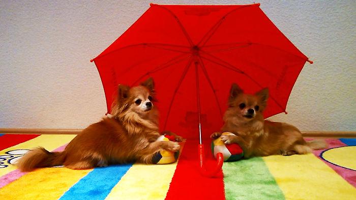Cute Chihuahua Dog Tricks With Balls And An Umbrella