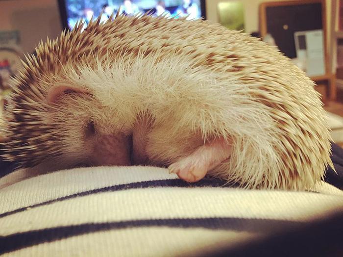 Hedgehog Beauty Sleep