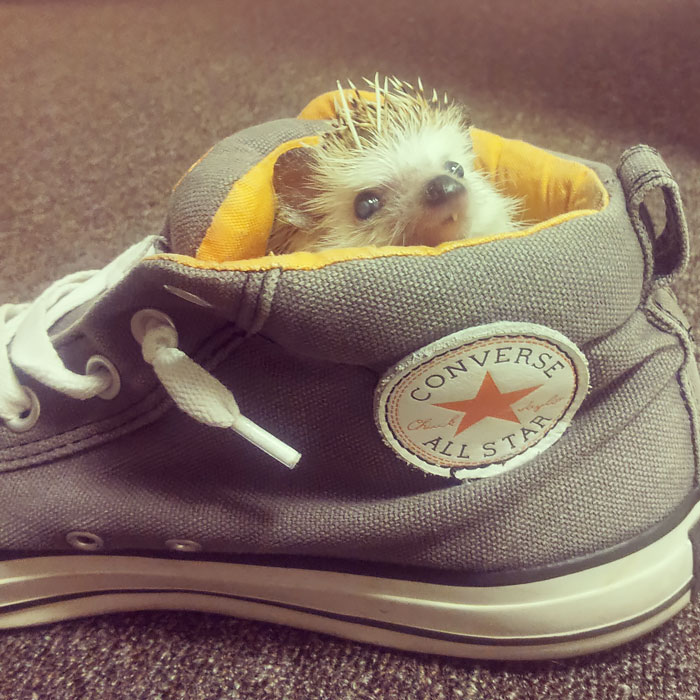 My Scraggly One Toothed Hedgehog Found His Way Into My Shoe. I Guess It's His Now