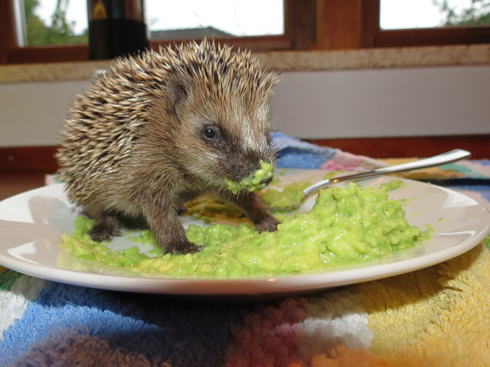 Hedgehog In Avocado Heaven