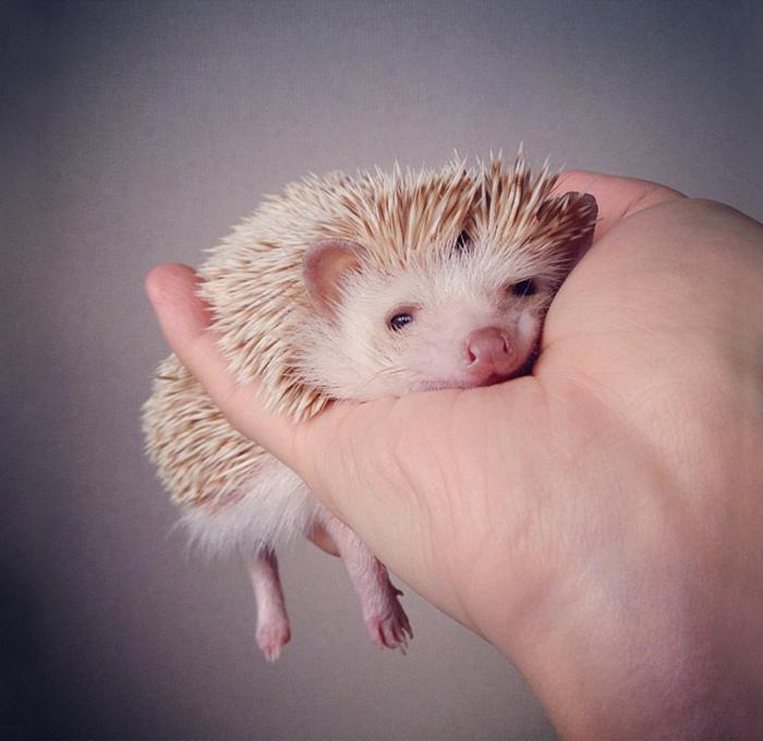 Little Hedgehog Named Darcy